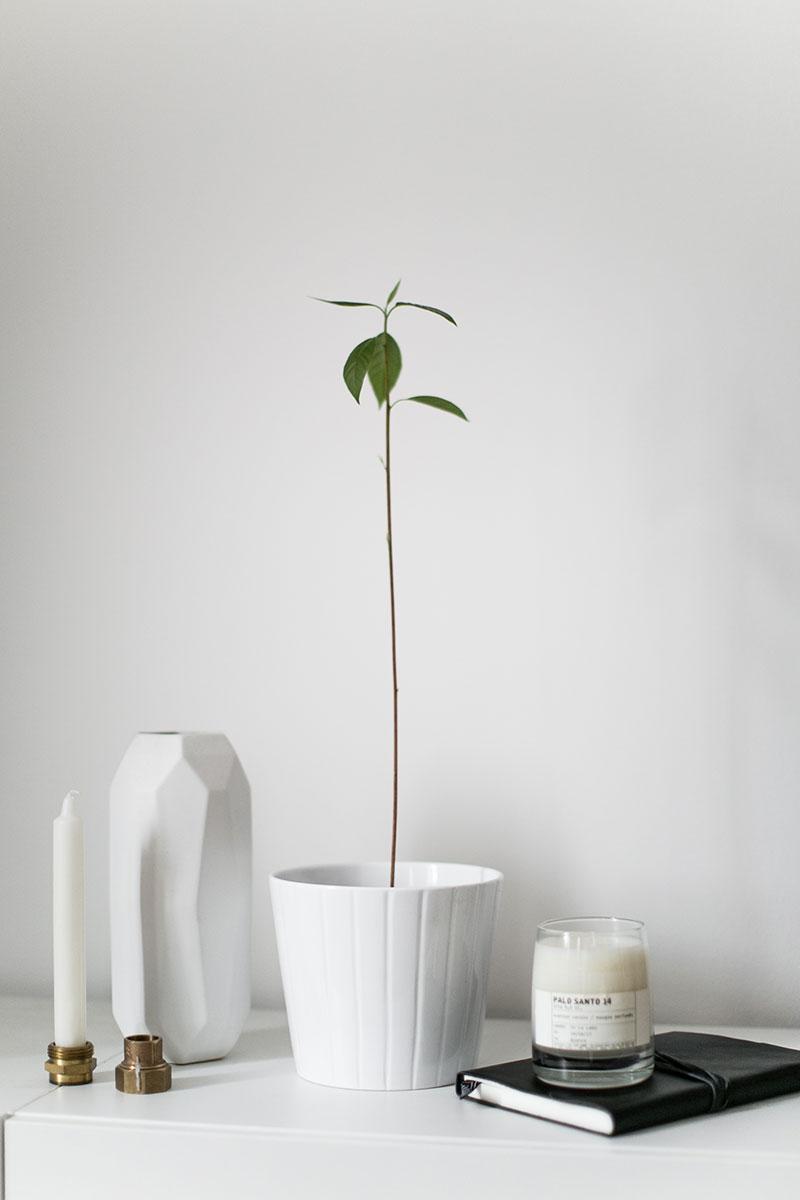 Wie man einen Avocadobaum zieht